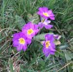 fleurs viollette pour une